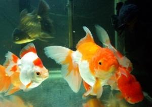 หลักการเลี้ยงปลาทองตามฮวงจุ้ย ตู้แบบไหน ปลากี่ตัว ทิศทางการตั้งตรงไหนดี