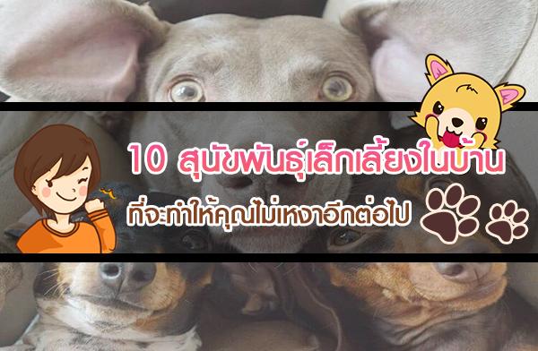 อยากเลี้ยงสุนัขควรเลี้ยงตัวไหนดี? 10 สุนัขพันธุ์เล็กเลี้ยงในบ้าน ทั้งน่ารัก ทั้งเอ็นดู ที่จะทำให้คุณไม่เหงาอีกต่อไป
